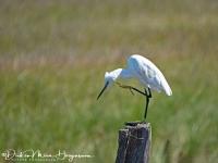 Kleine Zilverreiger-Little Egret-Seidenreiher-Egretta garzetta-MDH
