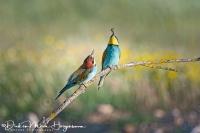 Bijeneter-Europian Bee-eater-Bienenfresser-Merops apiaster9