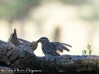 Rotsmus-Rock sparrow-Steinsperling-Petronia petronia1-MDH