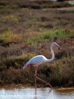 Flamingo-Greater Flamingo-Rosaflamingo-Phoenicopterus ruber-MDH