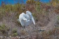 Kleine Zilverreiger-Little Egret-Seidenreiher-Egretta garzetta.jpg1