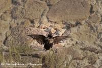 Zwarte Spreeuw-Spotless Starling-Einfarbstar-Sturnus unicolor1