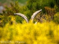 Iberische Steenbok-Iberian ibex-Iberiensteinbock-Capra pyrenaica11-MDH