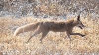 Rode vos-red fox-Rotfuchs-Vulpes vulpes2-MDH