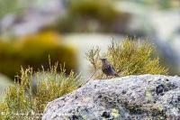 Blauwe Rotslijster-Blue Rocktrush-Blaumerle-Monticola solitarius Female