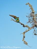 Bijeneter-Europian Bee-eater-Bienenfresser-Merops apiaster1-MDH