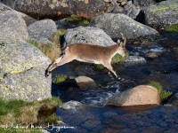 Iberische Steenbok-Iberian ibex-Iberiensteinbock-Capra pyrenaica10-MDH