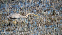 Purperreiger-Purple Heron-Purpurreiher-Ardea purpurea-MDH
