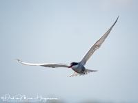Witwangstern-Whiskered Tern-Weißbart-Seeschwalbe-Chlidonias hybridus-MDH