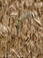 Wilde haver-wild oat-Taube Hafer-Avena sterilis-MDH