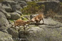 Iberische Steenbok-Iberian ibex-Iberiensteinbock-Capra pyrenaica Fight