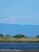 Een vlucht Flamingo's-MDH