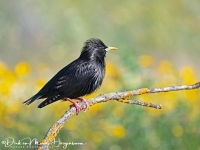 Zwarte Spreeuw-Spotless Starling-Einfarbstar-Sturnus unicolor-MDH