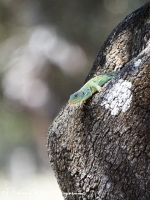 Parelhagendis-jewelled lizard-Perleidechse-Timon lepidus1-MDH