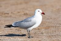 Audouins Meeuw-Audouin's Gull-Korallenmöwe-Larus audouinii1