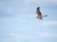 Steppekiekendief-Pallid Harrier-Steppenweihe-Circus macroerus-MDH