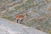 Iberische Steenbok-Iberian ibex-Iberiensteinbock-Capra pyrenaica