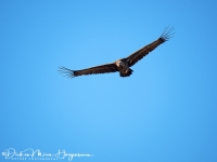 Monniksgier-Monk Vulture-Mönchsgeier-Aegypius monachus-MDH