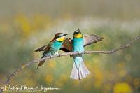 Bijeneter-Europian Bee-eater-Bienenfresser-Merops apiaster12