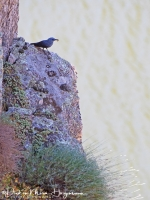 Blauwe Rotslijster-Blue Rocktrush-Blaumerle-Monticola solitarius Male2-MDH