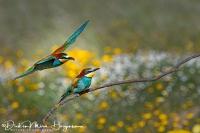 Bijeneter-Europian Bee-eater-Bienenfresser-Merops apiaster8