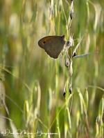 Bruin Zandoogje-Meadow Brown-Große Ochsenauge-Maniola jurtina-MDH