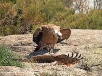 Vale gier met zwarte wouw-Griffon Vulture-Gänsegeier-Gyps fulvus6-MDH