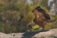 Vale Gier-Griffon Vulture-Gänsegeier-Gyps fulvus_