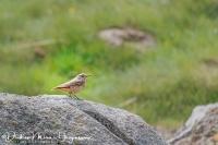 Rode Rotslijster-Rock Thrush-Steinrötel-Monticola saxatilis Female