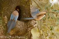 Blauwe Ekster-Azure-winged Magpie-Blauelster-Cyanopica cyana3