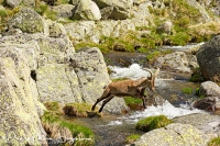Iberische Steenbok-Iberian ibex-Iberiensteinbock-Capra pyrenaica Jump1a