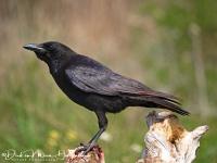Kraai-Corrion Crow-Aaskrähe-Corvus corone1-MDH