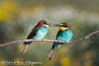 Bijeneter-Europian Bee-eater-Bienenfresser-Merops apiaster2