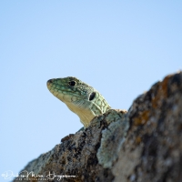Parelhagendis-jewelled lizard-Perleidechse-Timon lepidus2-MDH