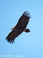 Monniksgier-Monk Vulture-Mönchsgeier-Aegypius monachus1-MDH