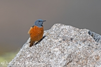 Rode Rotslijster-Rock Thrush-Steinrötel-Monticola saxatilis