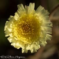 Andryala integrifolia-MDH
