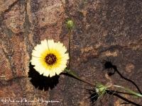 Christusanjelier-European umbrella milkwort-Bartpippau-Tolpis barbata1-MDH