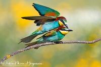 Bijeneter-Europian Bee-eater-Bienenfresser-Merops apiaster6
