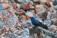 Blauwe Rotslijster-Blue Rocktrush-Blaumerle-Monticola solitarius Male a