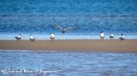 Diverse sterns- Terns-Schwalbes-MDH