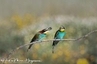 Bijeneter-Europian Bee-eater-Bienenfresser-Merops apiaster10