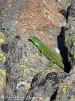 Parrelhagendis-jewelled lizard-Perleidechse-Timon lepidus-MDH