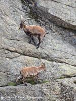 Iberische Steenbok-Iberian ibex-Iberiensteinbock-Capra pyrenaica7-MDH