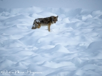 Coyote of prairiewolf-Coyote-Kojote-Canis latrans-MD