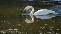 Trompetzwaan-Trumpeter Swan-Trompeterschwan -Cygnus buccinator-MD