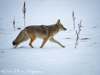 Coyote of prairiewolf-Coyote-Kojote-Canis latrans  -MD
