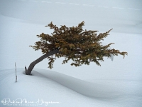 Jeneverbes-Common Juniper-Gemeine Wacholder-Juniperrus communis-MD