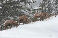 Dikhoornschaap-Bighorn Sheep-Dickhornschaf-Ovis canadensis