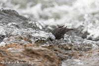 Noord-Amerikaanse waterspreeuw-American Dipper- Grauwasseramsel-Cinclus mexicanus_